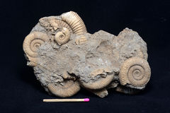 Fossiles d'ammonite Photographie stock