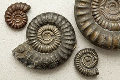 Fossiles d'ammonite sur un backround de pierre de Portland Photo stock