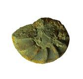 Fossiles d'ammonites sur un fond de whte Photos stock