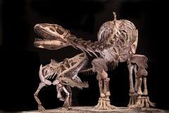 Fossiles de dinosaure Photos stock