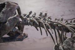Fossiles de dinosaure Images libres de droits
