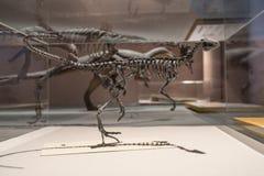 Fossiles de dinosaure Photographie stock libre de droits