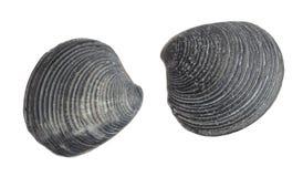 Fossiles de mollusques et crustacés de mer Image stock
