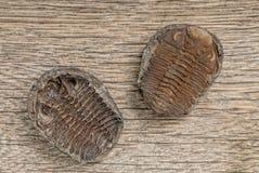 Fossiles de Trilobite Photographie stock libre de droits