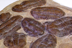Fossiles de Trilobite Photo stock