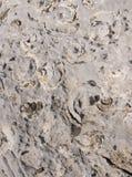 Fossiles des Seashells photos stock