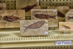 Fossiles en vente Photos libres de droits