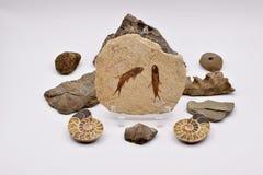 Fossiles et gemmes sur le fond blanc Photos libres de droits