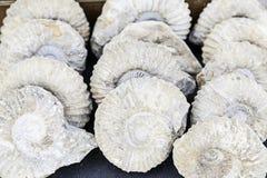 Fossiles préhistoriques Images libres de droits