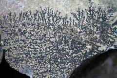 Fossili dei tempi antichi antidiluviani delle piante Fotografie Stock