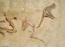 Fossili di dinosauro Fotografie Stock