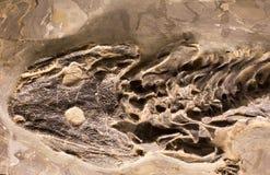 Fossilien der Amphibie im Felsen lizenzfreie stockfotos