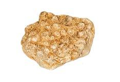 Fossilien, Stein mit den Fossilien, versteinert lizenzfreie stockfotos