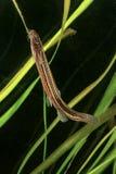 Fossilis di Weatherfish Misgurnus, sviming nello stagno Fotografie Stock Libere da Diritti