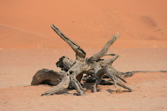 Fossilised acacia tree Stock Image
