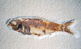 Fossilised fish in stone Royalty Free Stock Photography