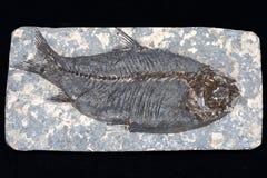 Fossilised fish Royalty Free Stock Photography