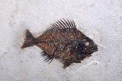 Fossilised fish Royalty Free Stock Photos