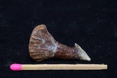 Fossilised swordfish barb Royalty Free Stock Photo
