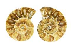 Fossiliserad ammonit Fotografering för Bildbyråer
