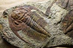 Fossiliserat Jurassic royaltyfri bild