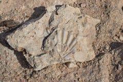 Fossilium um escudo hirto de medo antigo da pérola imagem de stock