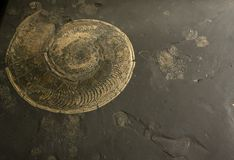 Fossilized ammonite Royalty Free Stock Photo