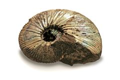 Fossilized ammonite. Found in the Moscow area isolated on the white background stock photos