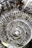 Fossilized ammonite Royalty Free Stock Images