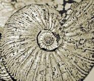 Fossilized ammonite close-up Stock Photos