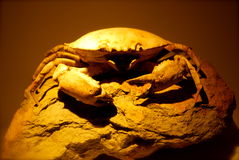 Fossilized Crab Royalty Free Stock Image