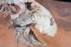 Fossilized czaszka prehistoryczny zwierzę obraz royalty free