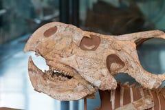 Fossilized czaszka prehistoryczny zwierzę fotografia royalty free