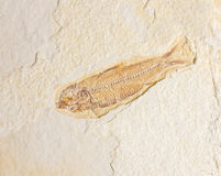 Fossilized Fish Stock Images