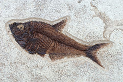 Fossilized fish Diplomystus dentatus Royalty Free Stock Photography