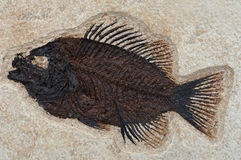 Fossilized fish Priscacara liops. In stone stock photography