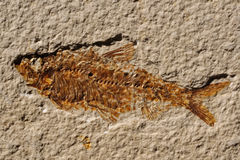Fossilized Fish Skeleton Stock Photo