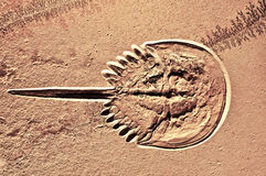 Fossilized Horseshoe Crab Royalty Free Stock Image