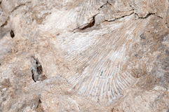 Fossilized Imprint of Coral or a Sea Shell in Beach Rock Royalty Free Stock Photos