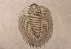 A fossilized imprint of a trilobite. A fossilized imprint of a trilobite encased in stone from an excavation royalty free stock photos
