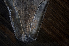 Fossilized Megalodon Shark tooth on dark background Stock Images