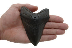 Fossilized Megalodon Tooth, isolated. On white stock photography
