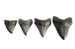 Fossilized Megalodon Tooth, isolated Royalty Free Stock Image