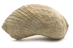 Fossilized mussel Royalty Free Stock Photography