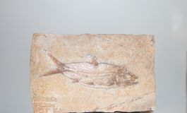 Fossilized odcisk ryba zdjęcie stock