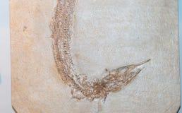 Fossilized odcisk ryba obrazy stock
