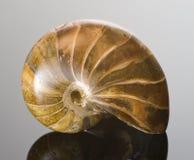 Fossilized polished Nautilus shell. Royalty Free Stock Image