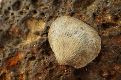Fossilized sea shell on iron colored magmatic stone. Royalty Free Stock Photos