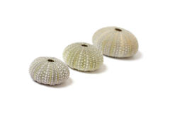 Fossilized sea urchins Royalty Free Stock Images