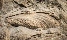 Fossilized seashell Royalty Free Stock Image